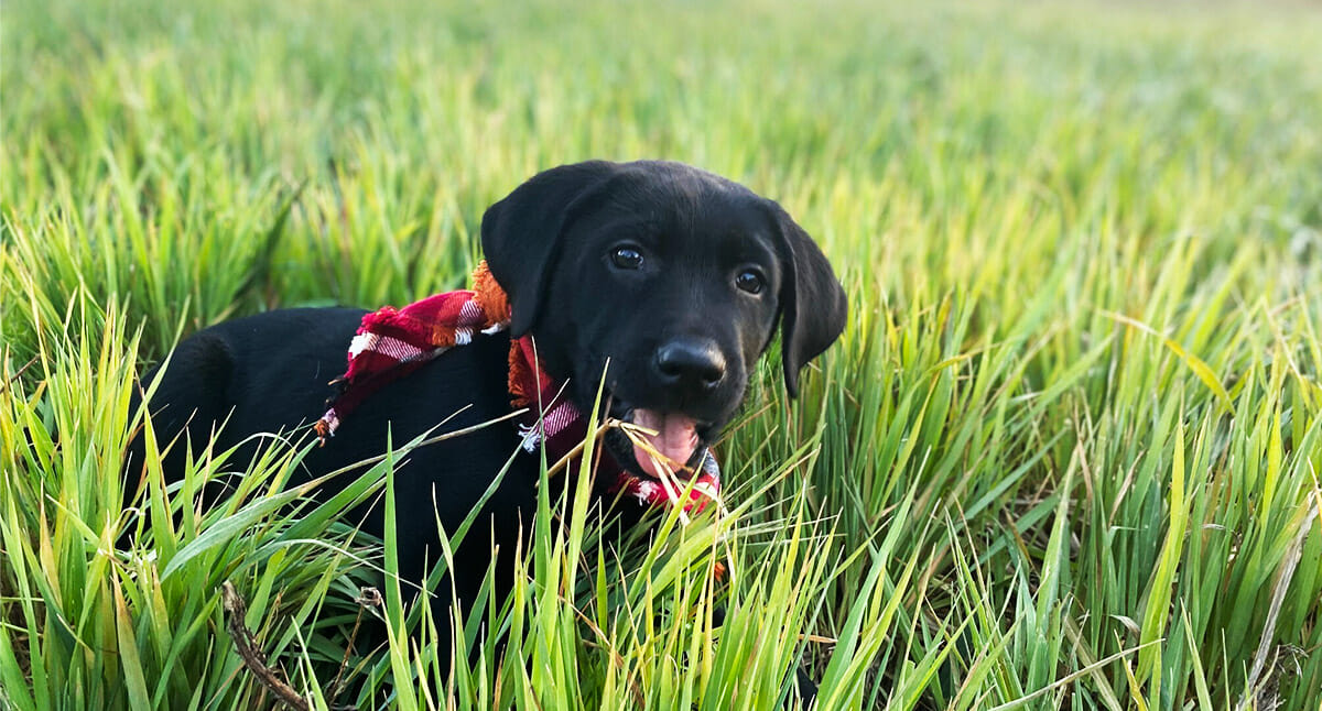 Photo of a black lab puppy smiling and lying in grass