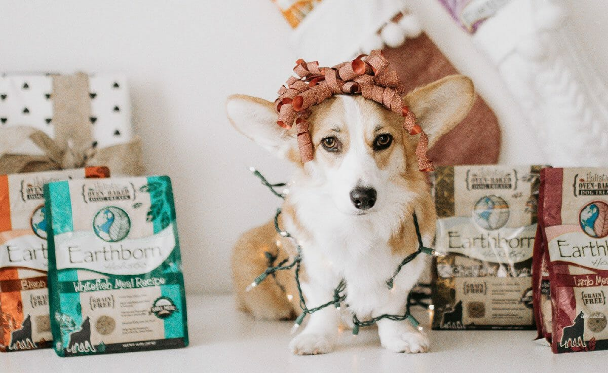 Corgi with a Christmas ribbon on head standing between Earthborn Holistic bags of biscuits