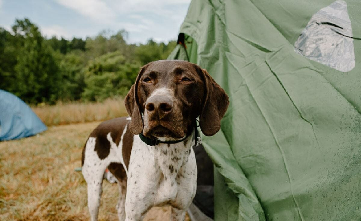 A german shorthaired pointer dog stands outside her green tent while on a camping trip