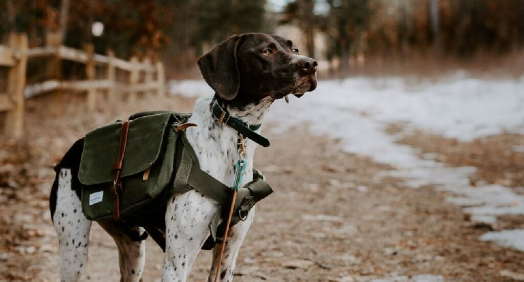 A german shorthaired pointer dog showing off her dog backpack while hiking