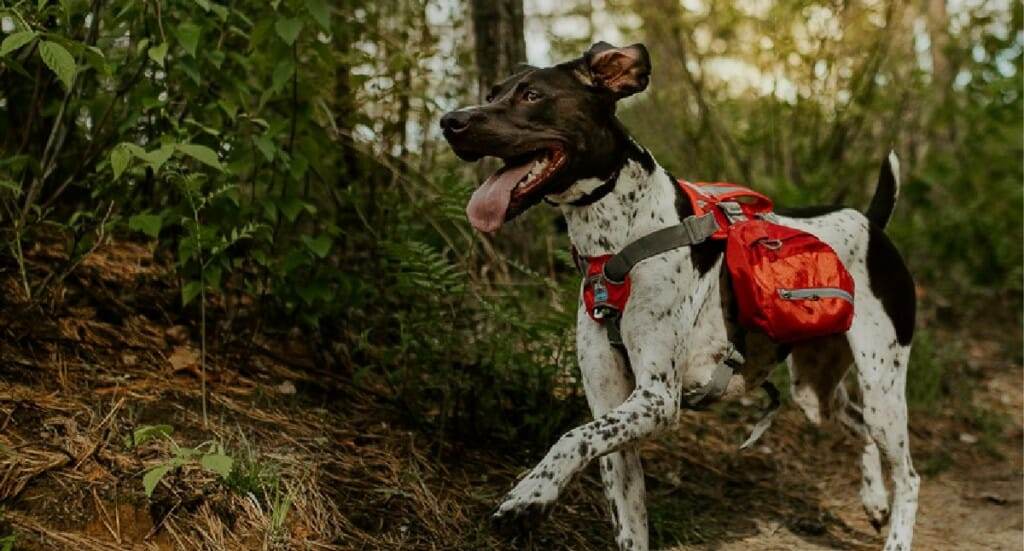 A german shorthaired pointer dog in a red dog backpack happily runs along a hiking trail