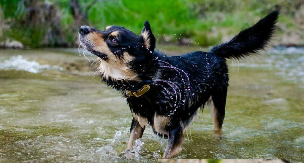 A small black and brown dog shakes off water standing in a river