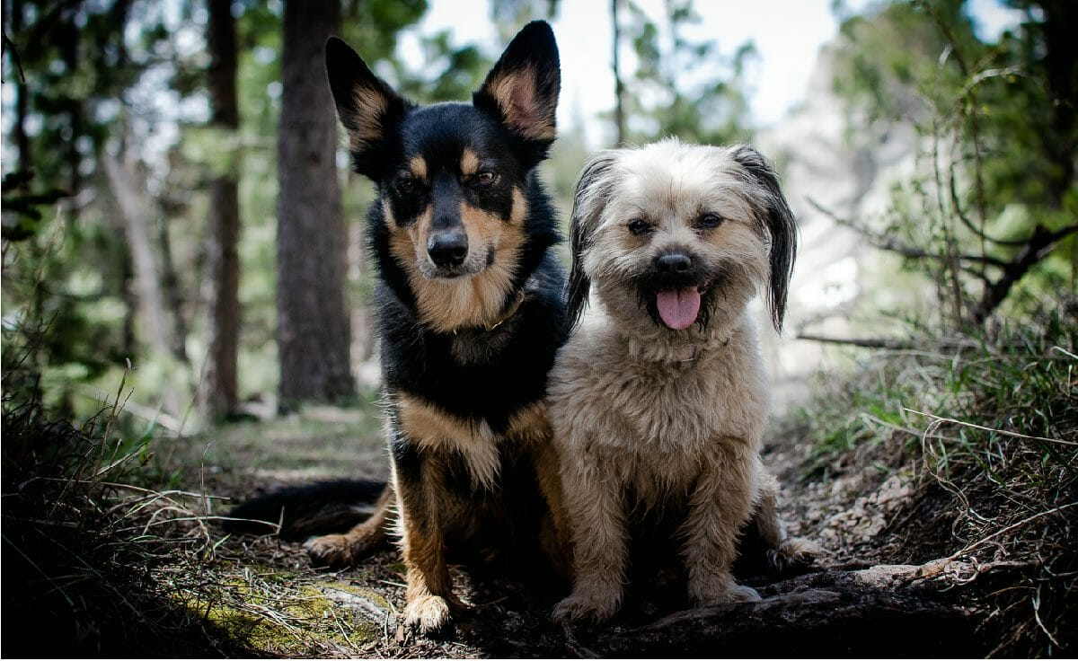 Two small dogs sit on a forest trail in South Dakota