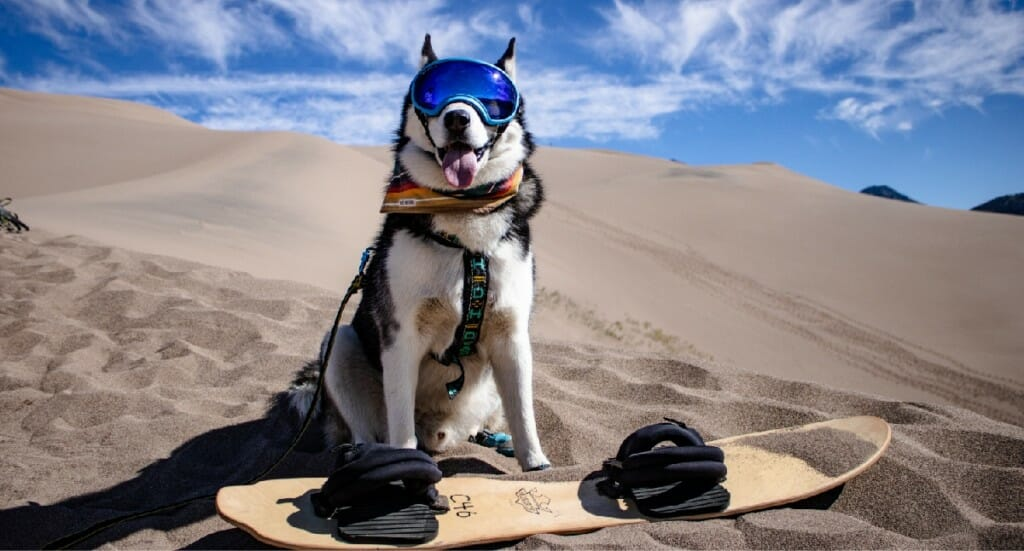 A husky wearing goggles stands next to a board at Great Sand Dunes National Park in Colorado