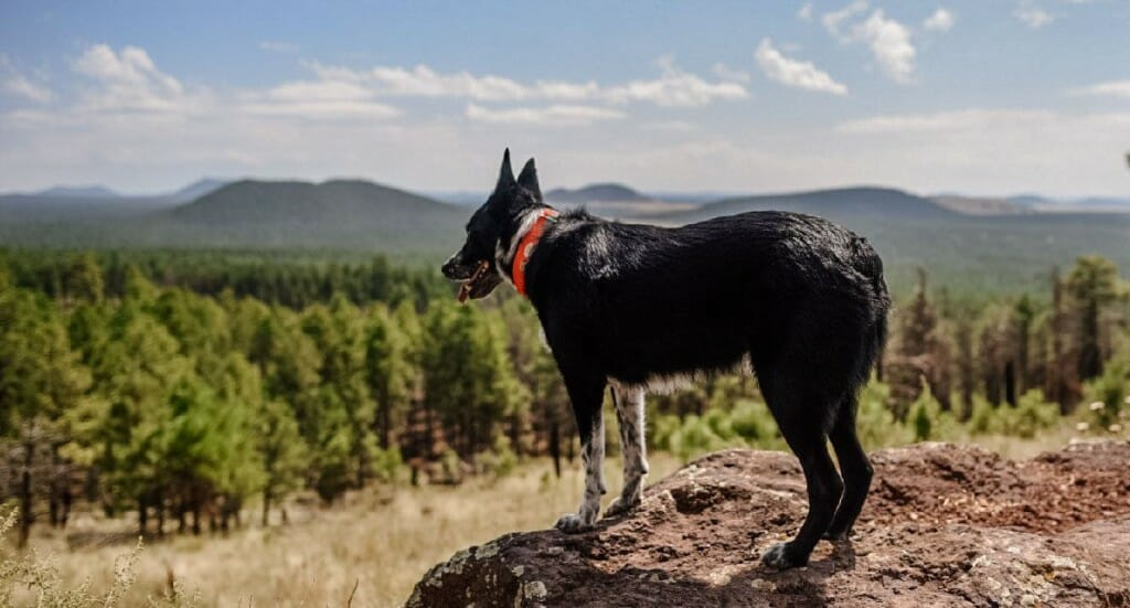 A dog stands looking into the distance at Kendrick Peak Trail in Arizona