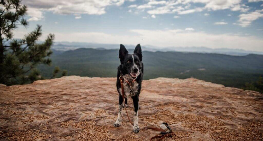 A smiling dog stands on the Mogollon Rim Interpretive Trail