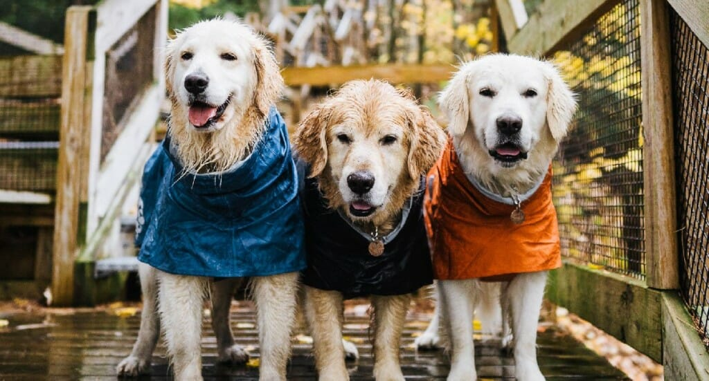 Three golden retrievers stand in a row wearing Hurtta Monsoon Coats