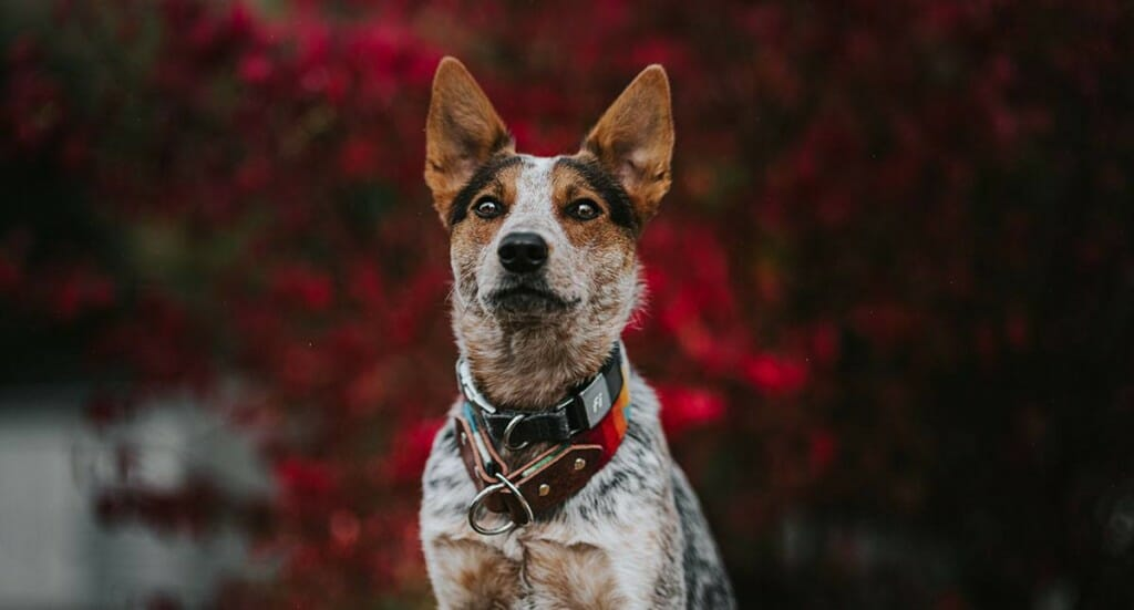 A dog sits in front of a fall tree wearing a Fi dog collar