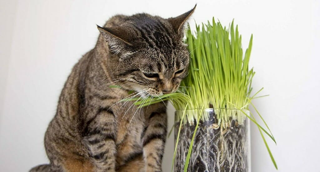 A cat nibbles on some indoor cat grass
