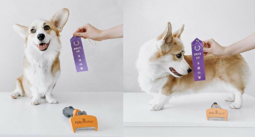 "A corgi with a purple ""Best in Show"" ribbon sits next to her FURminator after being groomed"