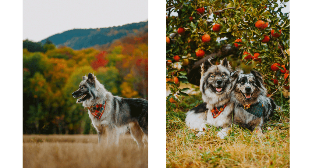 Two photos; one of a husky standing in front of a pretty fall tree line and one of a husky and another dog sitting in front of an apple tree