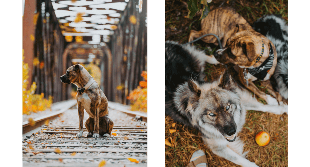 Two photos; one of a mutt dog sitting on a bridge during the fall and one of two dogs, one mutt and one husky, sitting at their owner's feet