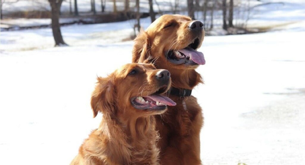 Two golden retrievers sit outside in the snow