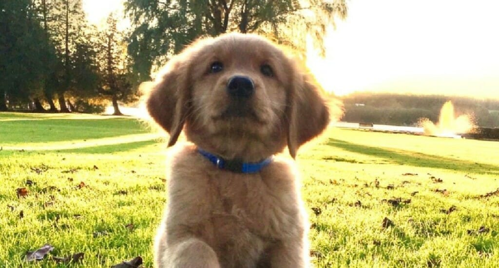 A golden retriever puppy sitting outside