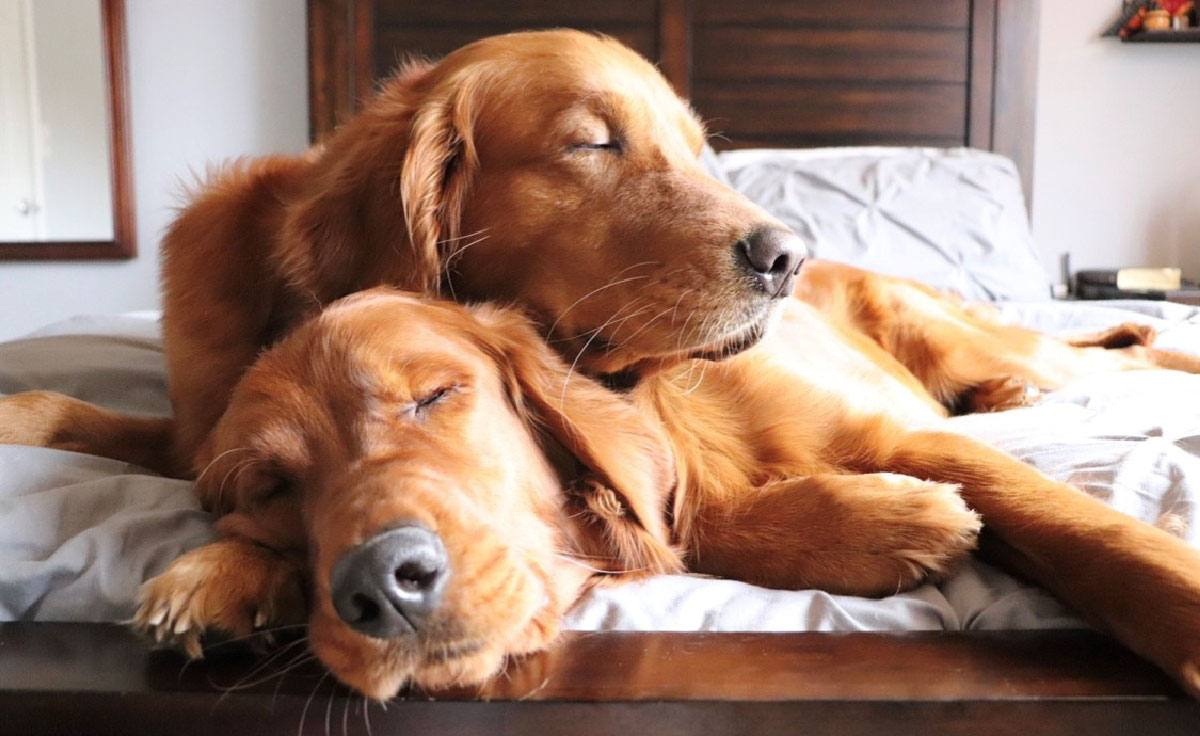Two golden retriever dogs lay on top of each other on a bed asleep