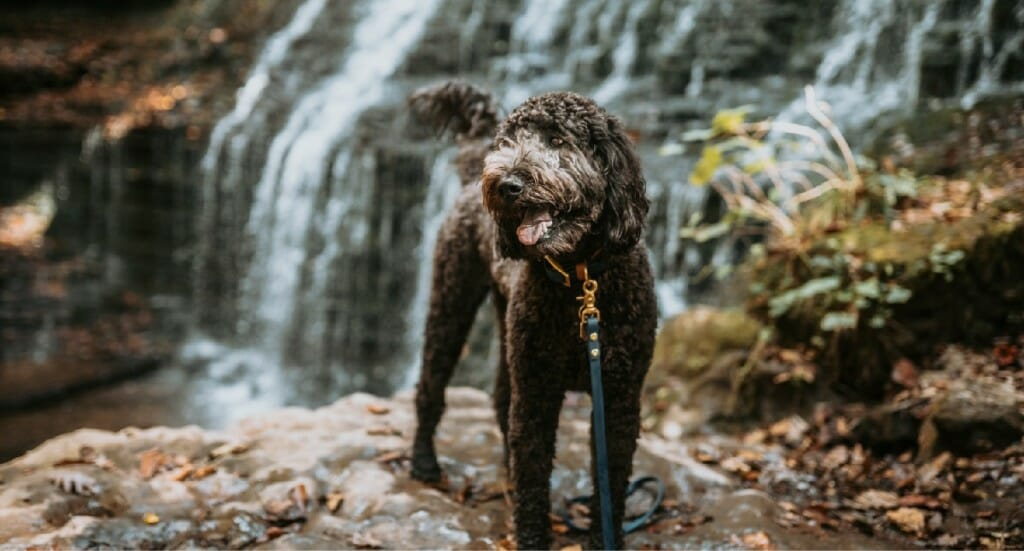 A smiling Labradoodle stands on a rock in front of a waterfall in Tennessee
