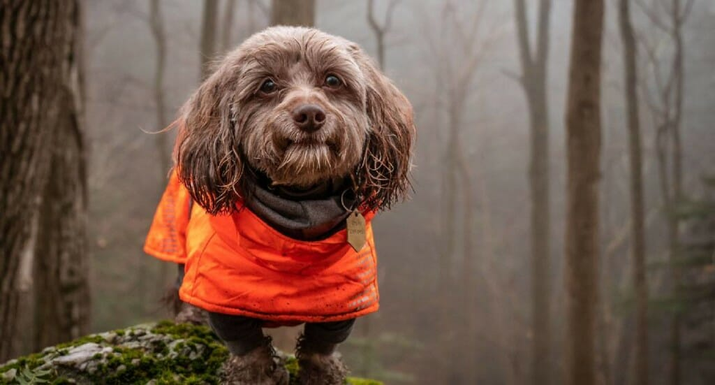 A dachshund mix dog stands on a rock in a forest wearing an orange jacket