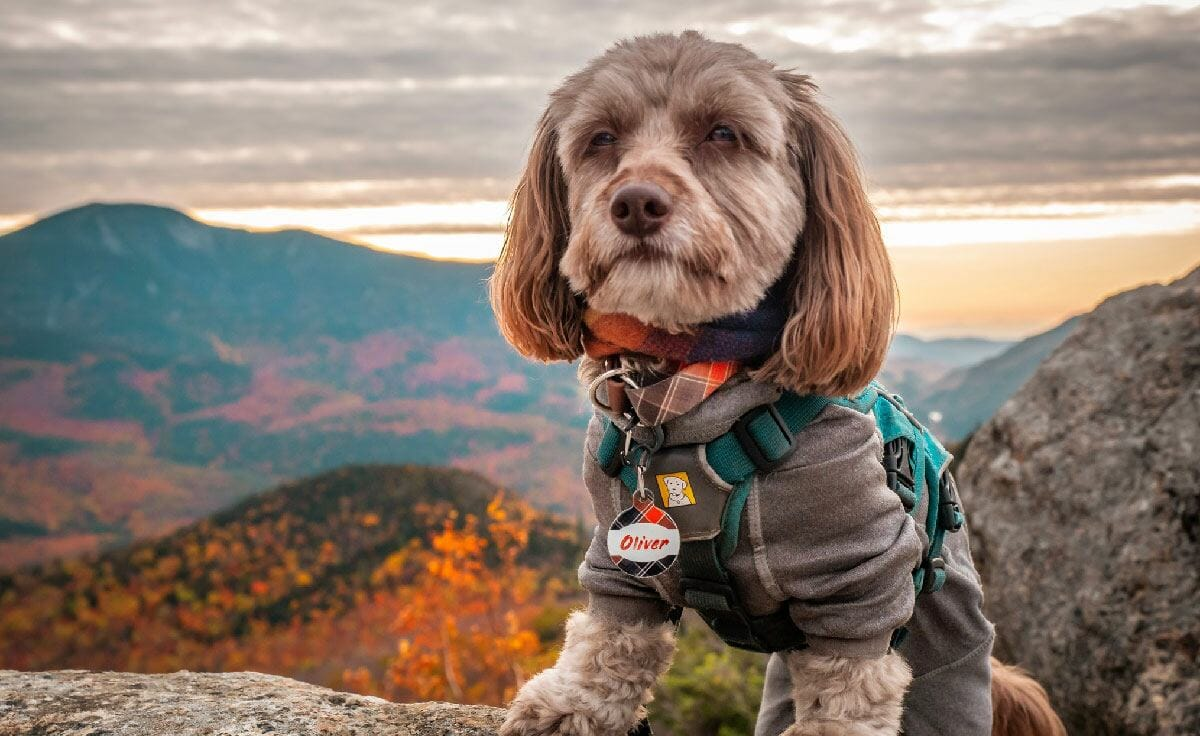 A small dachshund stands on a mountain summit overlooking a view