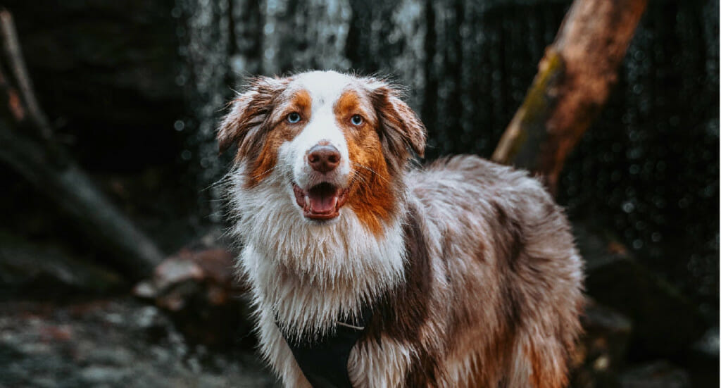 An Australian Shepherd dog stands in front of a waterfall at Desoto State Park in Alabama