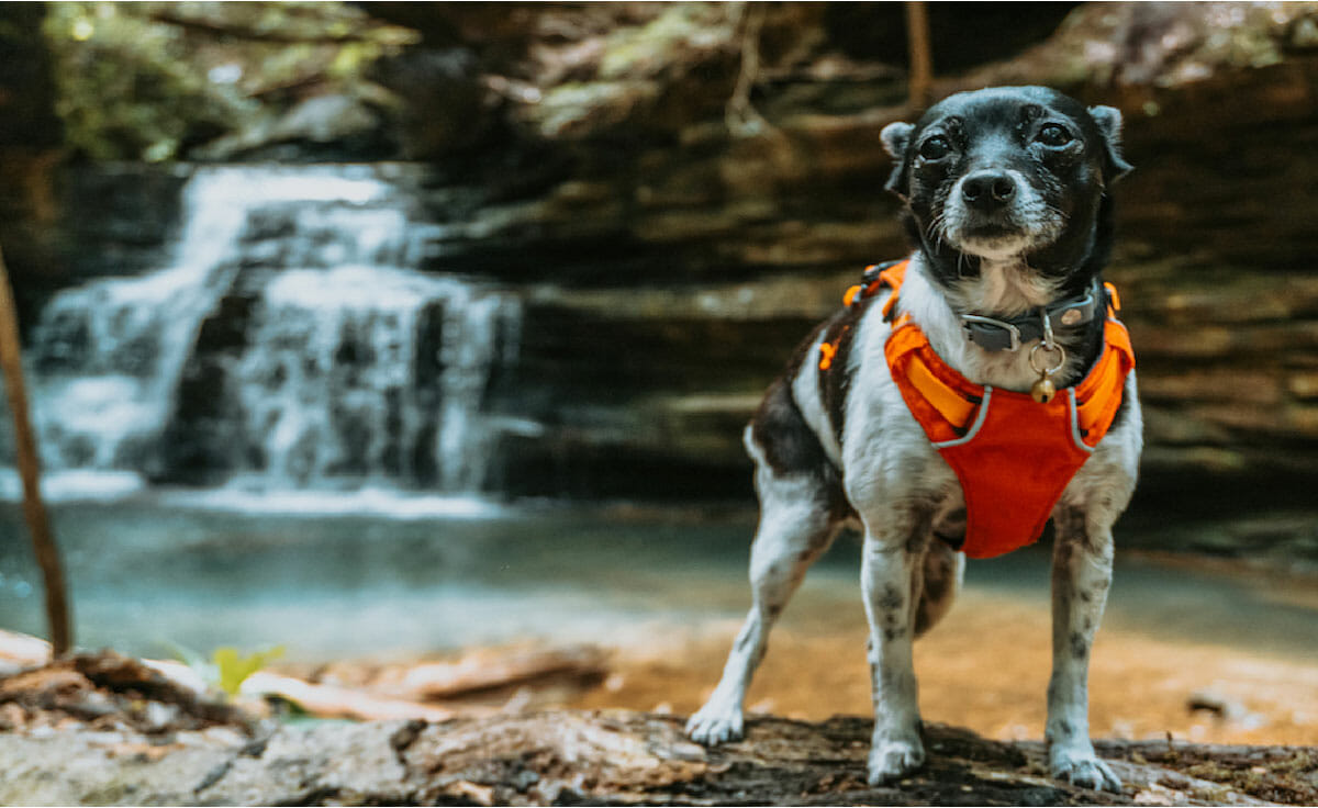 A small black and white rat terrier dog in an orange vest standing in front of a waterfall in Bankhead National Forest in Alabama