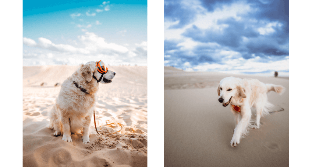 A golden retriever in goggles sits in the sand at Silver Lake Sand Dunes in Michigan while another walks through sand towards the camera