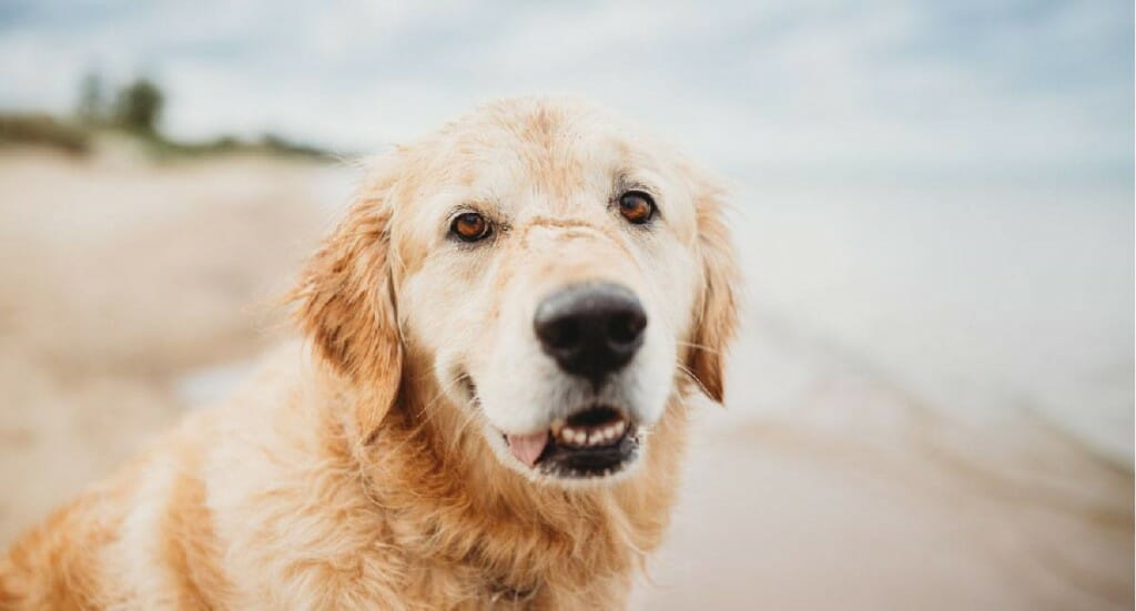 A golden retriever stands close to the camera while smiling with an out of focus beach in the background
