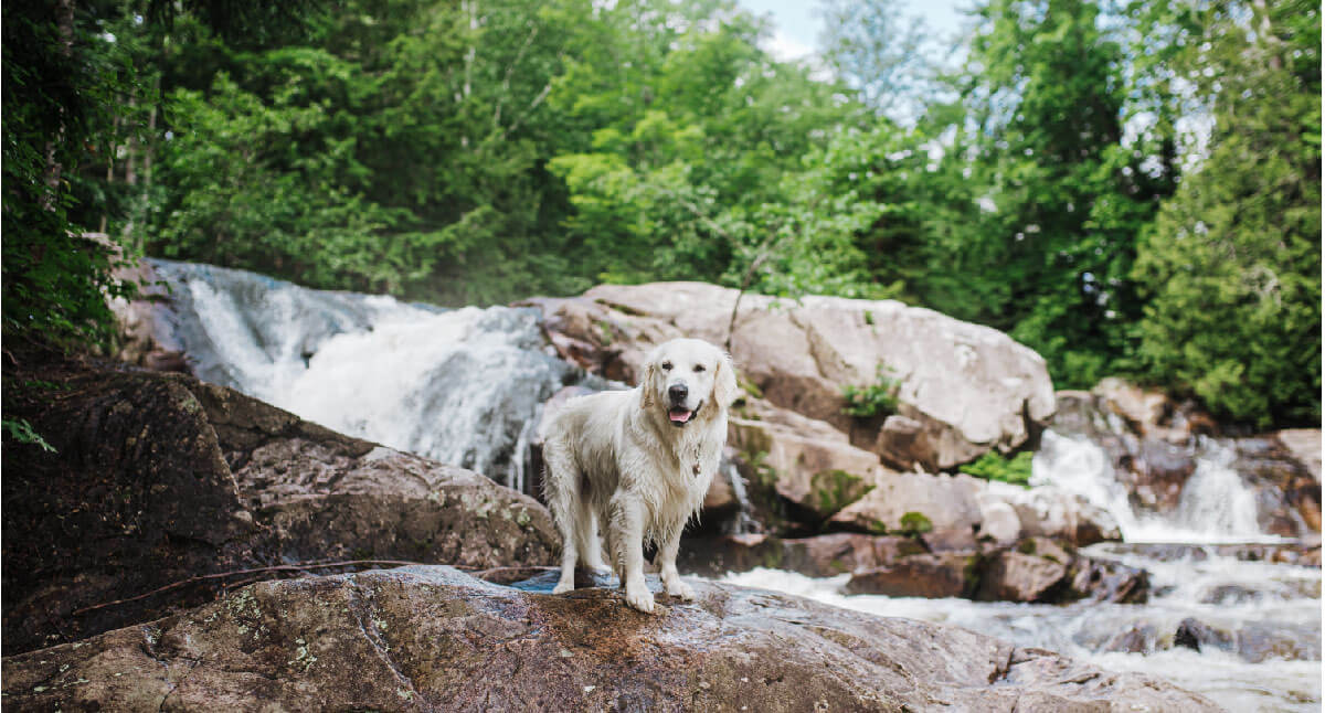 A golden retriever stands on top of a rock in front of a waterfall at Yellow Dog Falls in Michigan