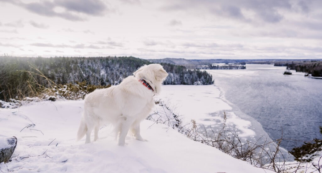 A golden retriever stands at a lookout at Lumberman's Monument in Michigan