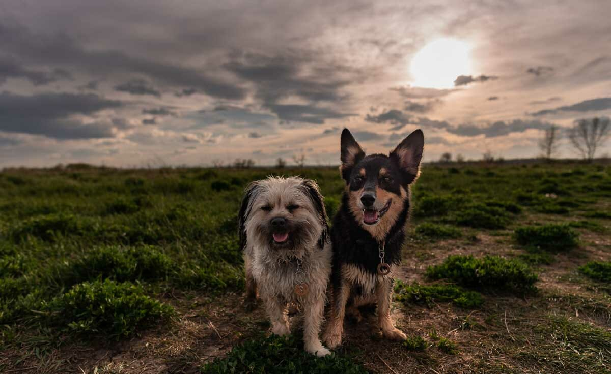 Two dogs stand in front of a sunset