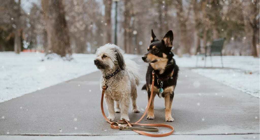 Two dogs going for a walk at Cheeseman Park in Denver