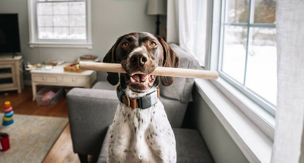 A dog holding a dowel rod in her mouth