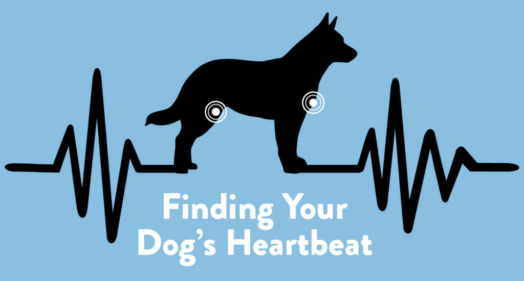 A graphic showing the places you can check your dog's heart rate