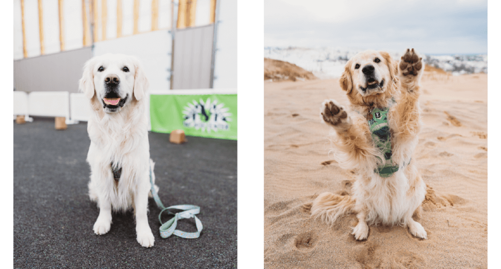 "An image of a dog at a training class and another image of a dog doing a ""sit pretty"" trick"