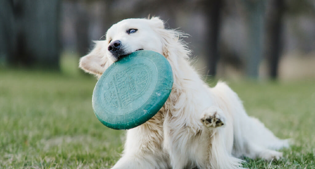 A dog plays with a frisbee