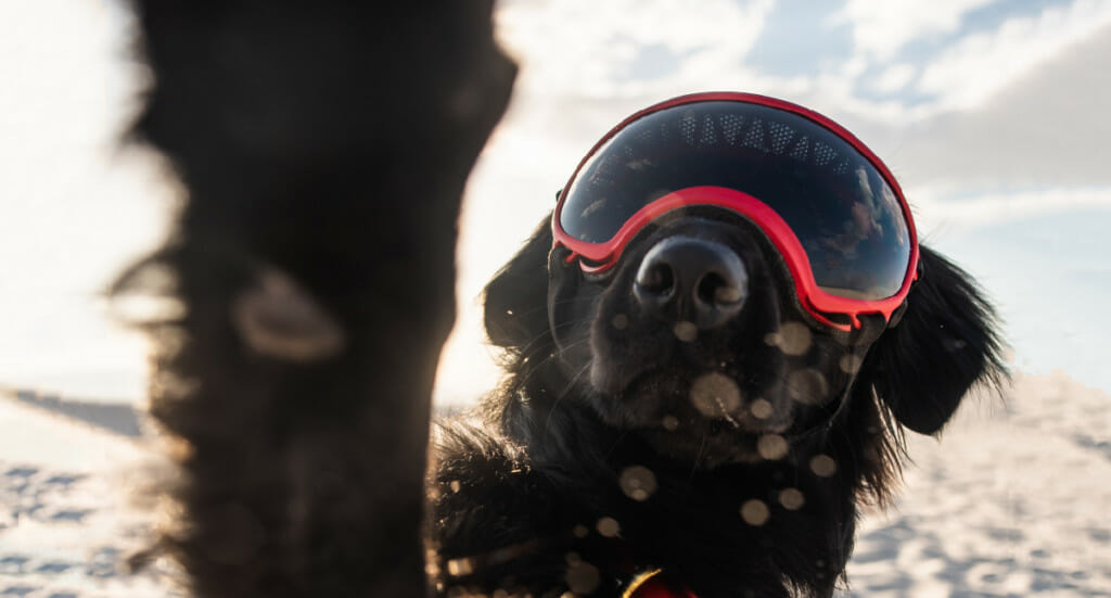 A dog with goggles on paws at the camera