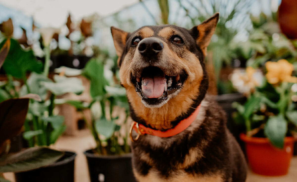A dog smiles while sitting in a greenhouse