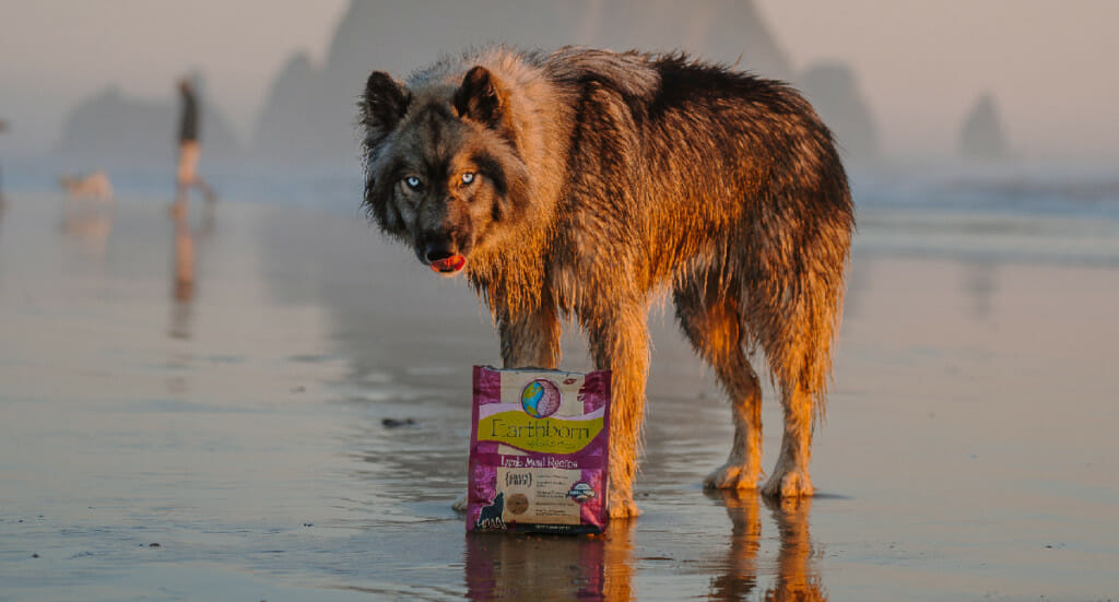 A dog stands on a beach licking his lips next to a bag of Earthborn Holistic dog treats