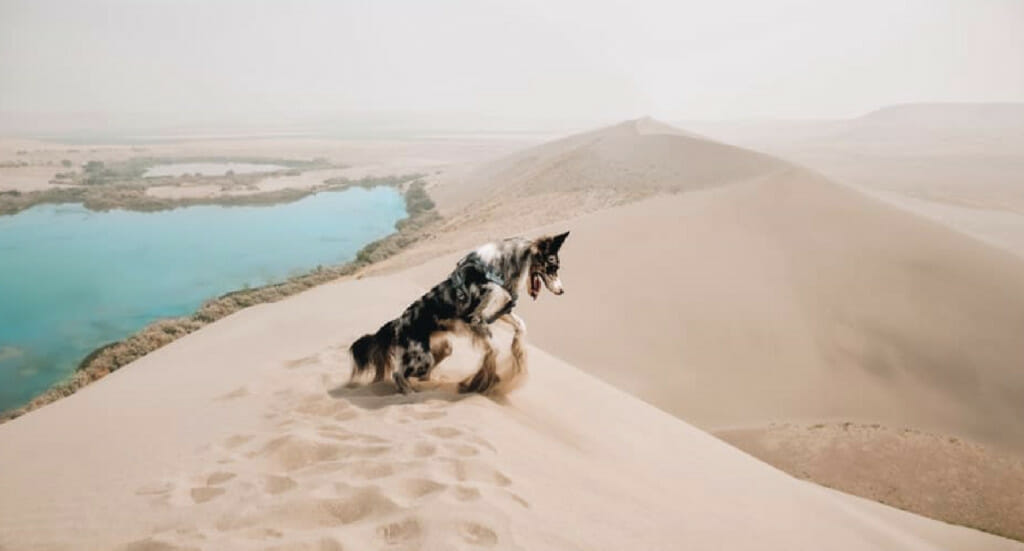 A dog romps around in the sand wearing a Kurgo Journey Air Harness