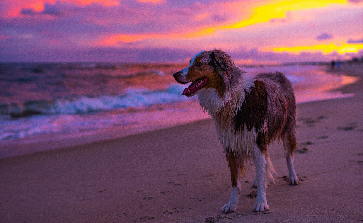 An aussie dog stands on a beach in front of a beautiful pink and purple sunset