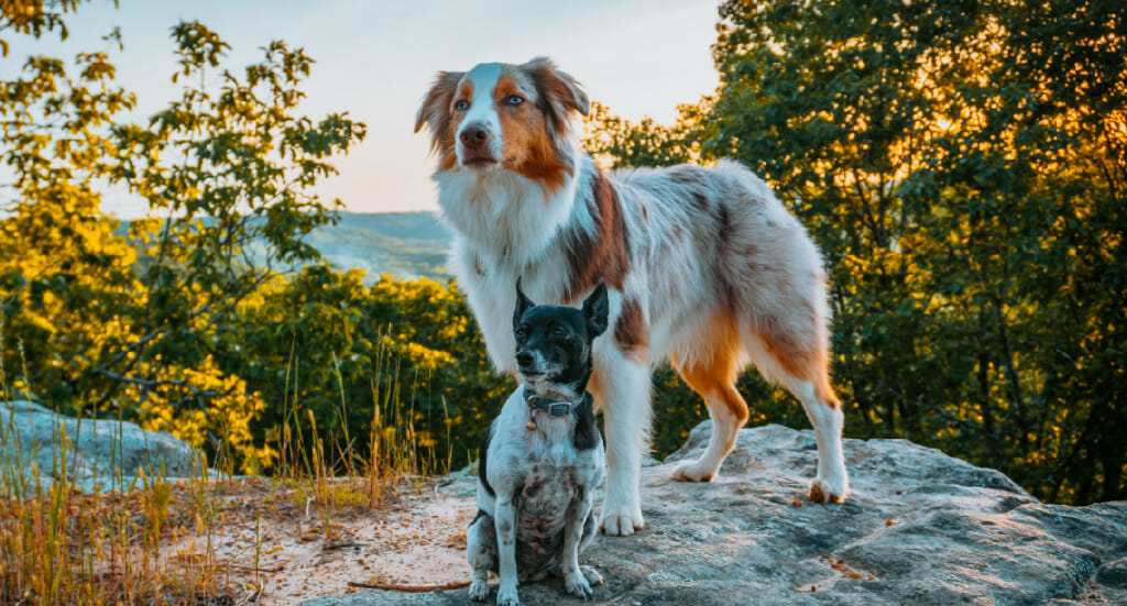 Two dogs--one aussie and one small mixed breed--stand together at a mountain lookout point