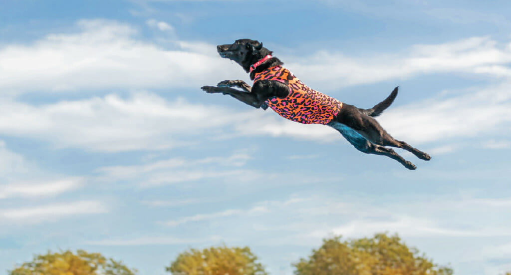 Dock diving dog Storie soars through the air in a leopard print wetsuit
