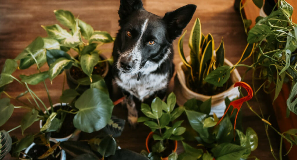 A dog sits surrounded by a variety of houseplants