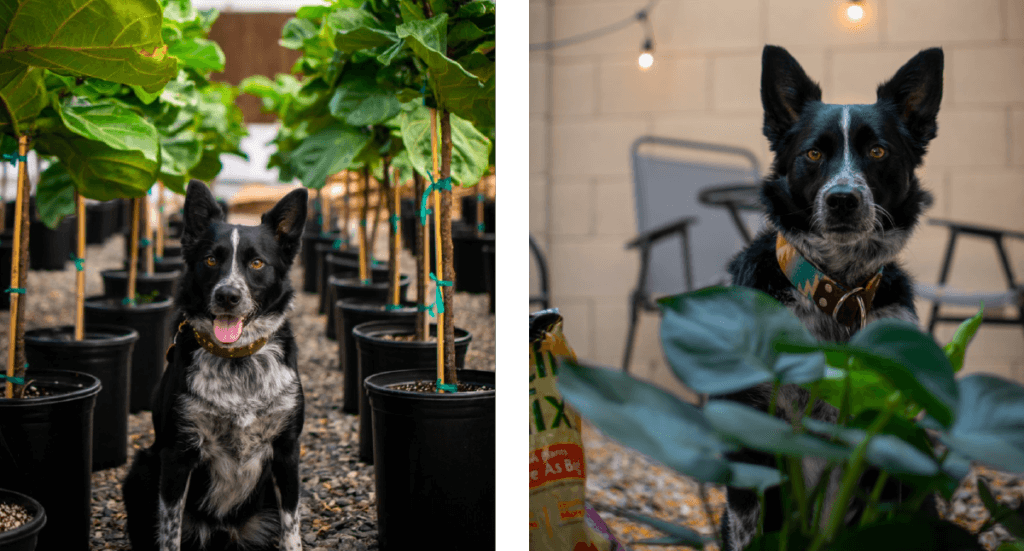 Two images- In the first a dog sits in a row of plants at a greenhouse. In the second, the same dog sits in a backyard surrounded by plants