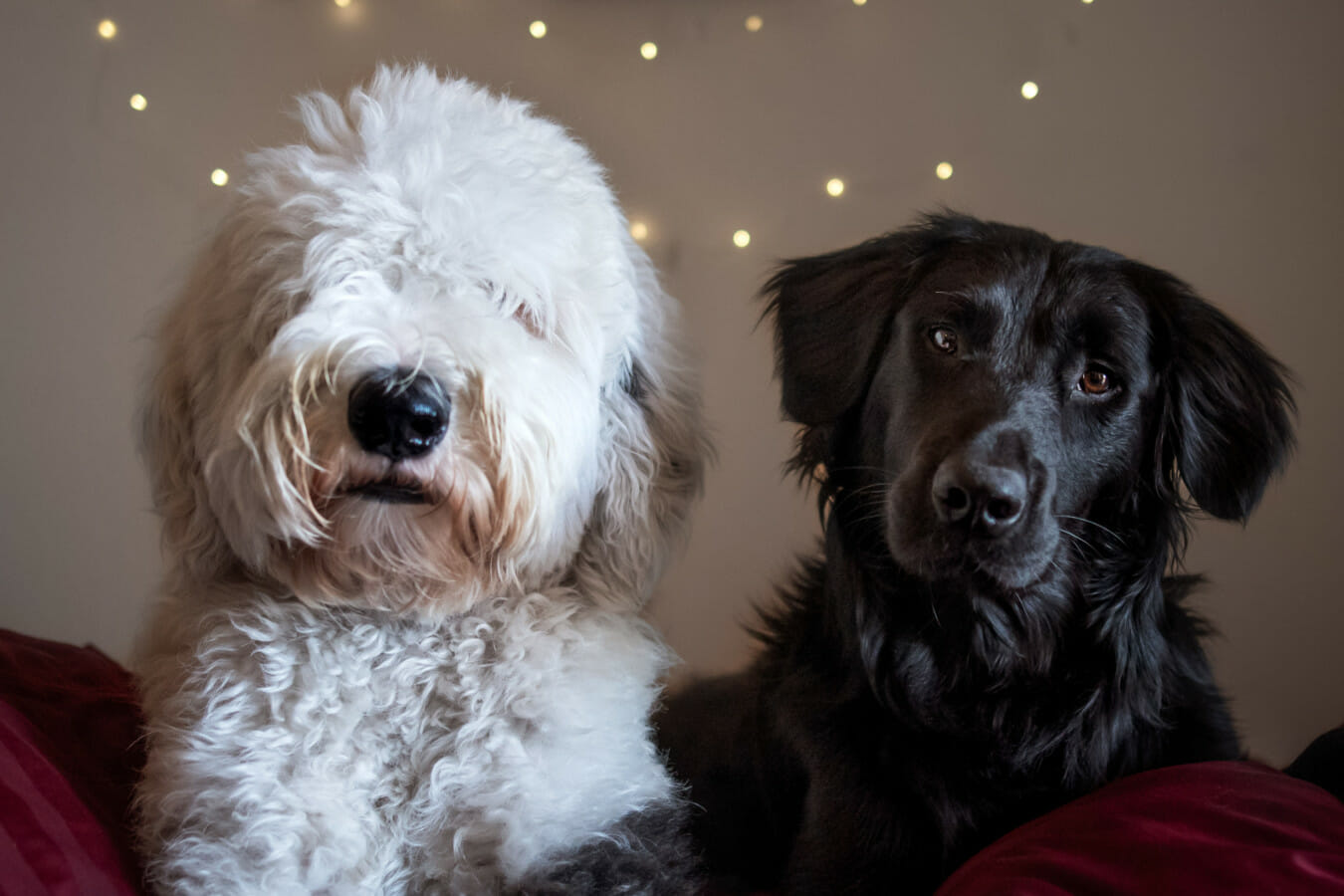 Two dogs, a sheepdog mix and a border collie mix, lay together indoors