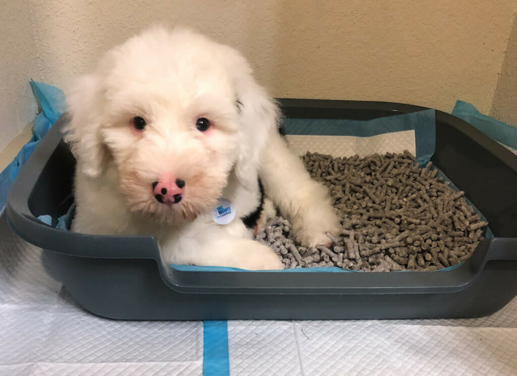 A young puppy sits in a puppy litter box for their dog friendly apartment