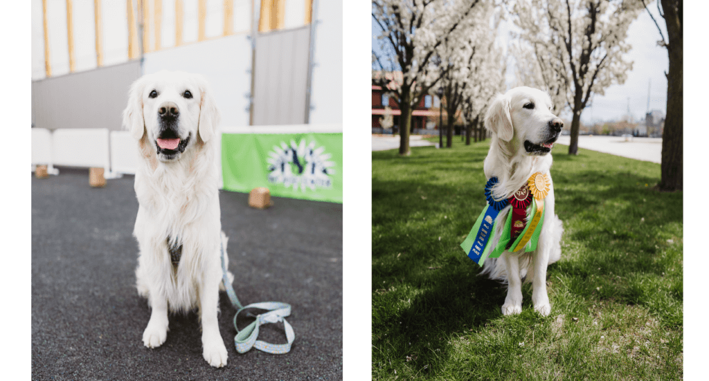 Two images-one of a dog sitting in a class and the second with competition ribbons around his neck