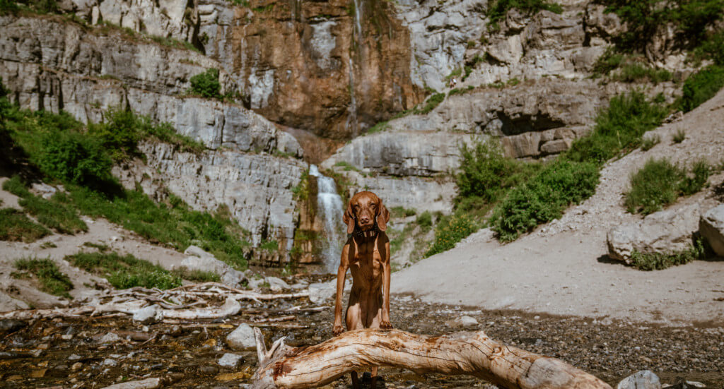 A dog stands in front of Stewart Falls in Utah