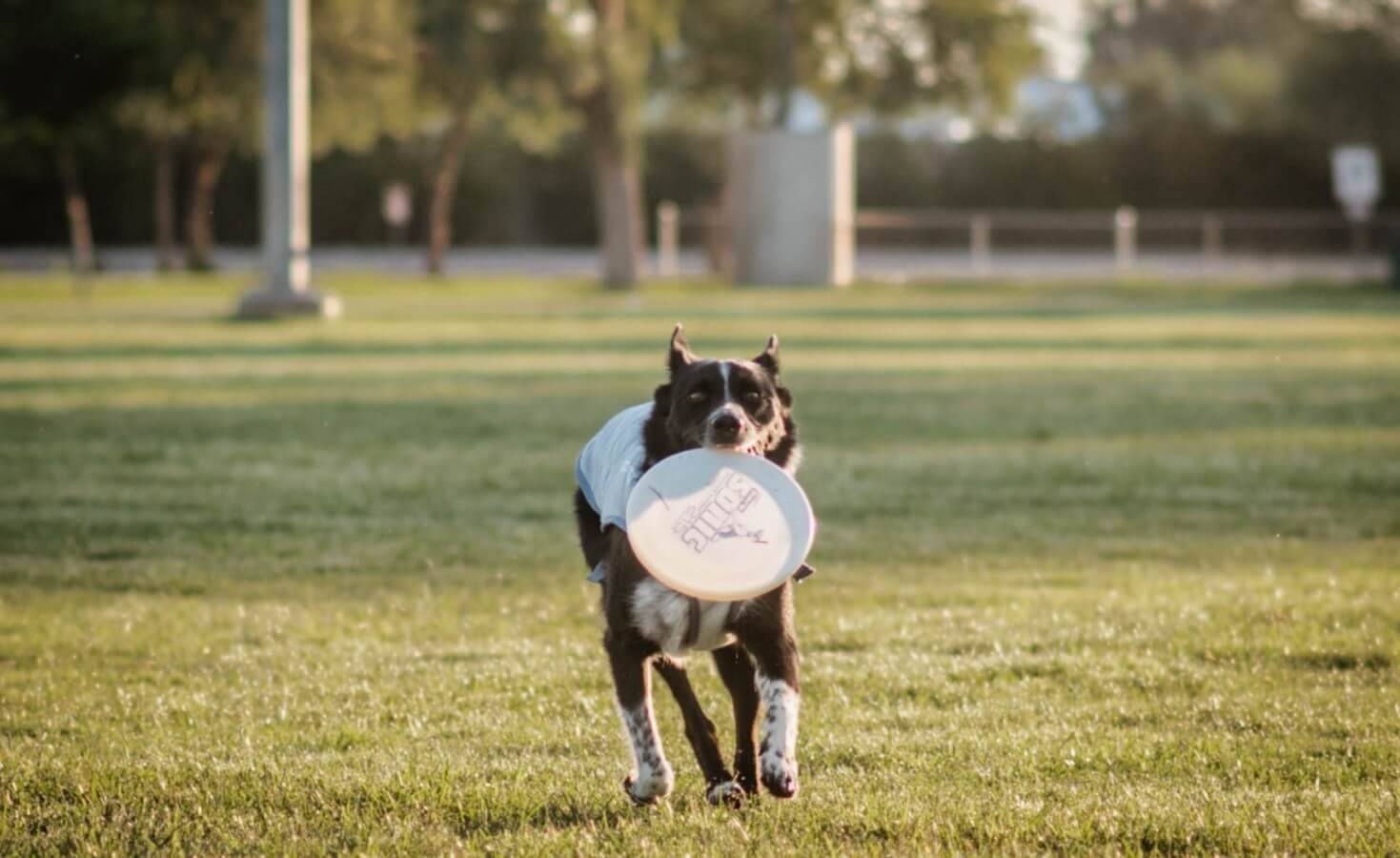A dog runs towards the camera through an open field with a frisbee in his mouth