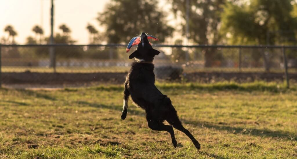 A dog jumps and catches a toy mid-air