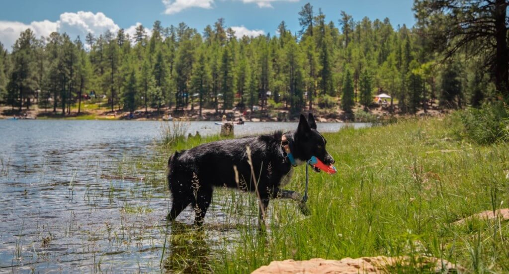 A dog retrieves a toy from a lake